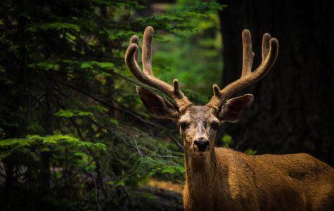 'Zombie Deer Disease' Outbreak