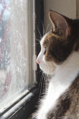 Cat at the Humane Society stares out the window, waiting to be adopted.
